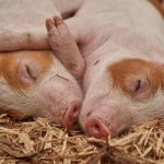 돼지도 AI로 관리한다...AI일등국가의 적절한 사례 '팜스플랜'